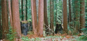 1_Bean-Lumber---FSC---healthy-forest-Redwoods-1